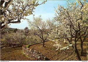 Ansichtskarte Spanien - Mallorca - Blühende Mandelbäume (820)