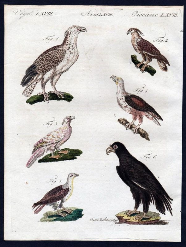 Flores Haubenadler hawk eagle Bartgeier Vögel birds Kupferstich engraving