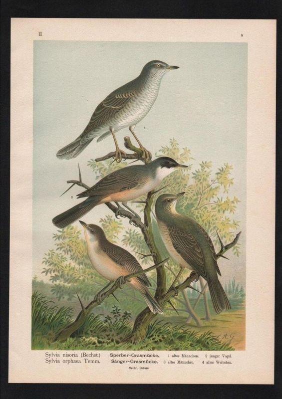 Sperber hawk Grasmücke Vögel Vogel bird birds Farblithographie Naumann