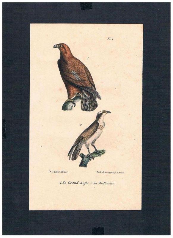 Adler eagle Falke falcon Vögel bird birds Lithographie Lithograph