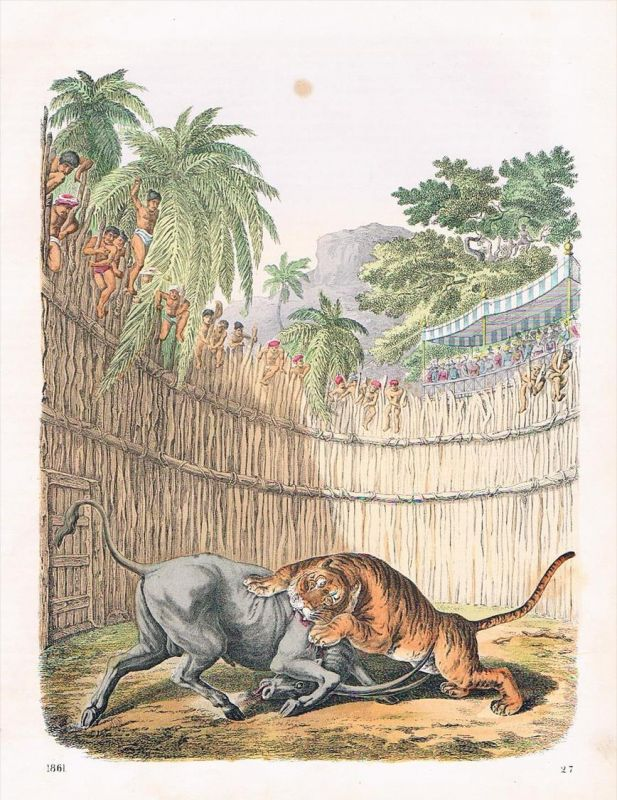 Tiger und Büffel Kampf Indien India - Lithographie lithography