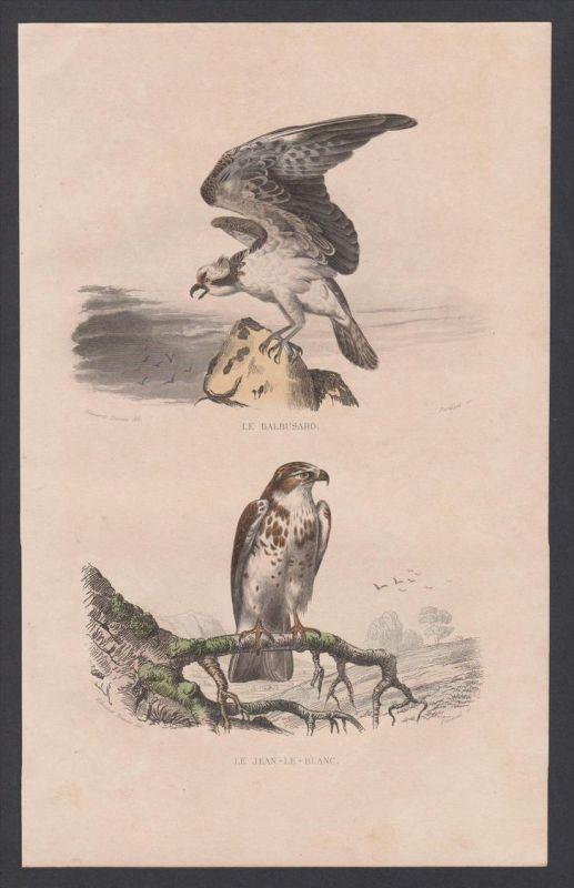 Bussard buzzard Vögel Vogel bird birds animal Stahlstich engraving