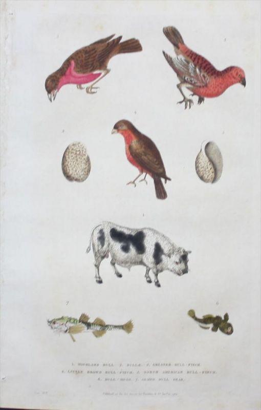 Dompfaff Gimpel bullfinch Kuh cow Tiere animals engraving Kupferstich