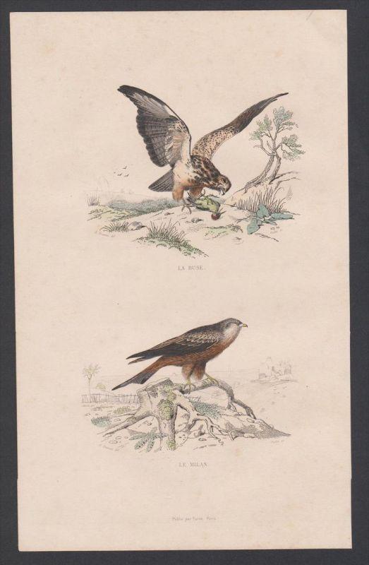Milan Bussard buzzard Vögel Vogel bird birds animal Stahlstich engraving