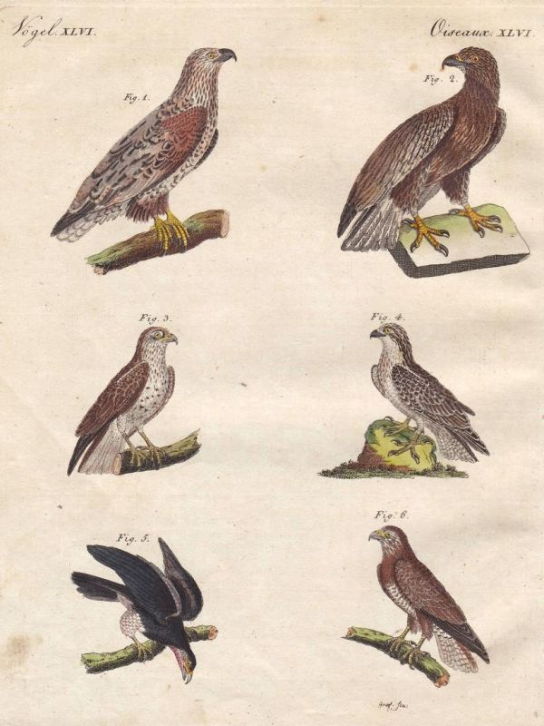 Vögel XLVI - Adler eagle Falke Bussard buzzard hawk Vogel bird Vögel birds Bertuch Kupferstich copper engravin