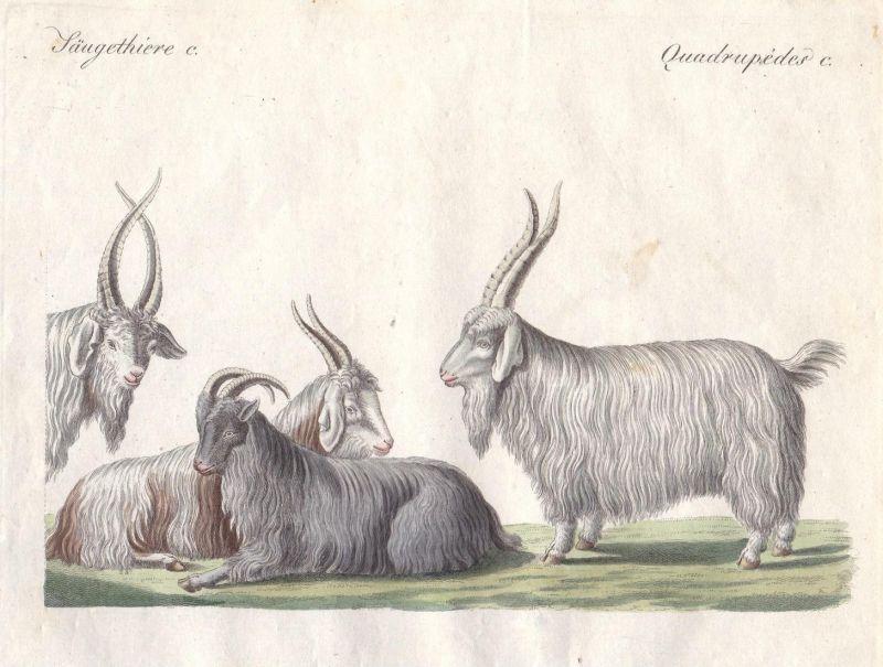 Säugethiere C - Kaschmirziege cashmere goat Ziege Ziegen goats Paarhufer even-toed ungulate Ziegenbock Bock Bö