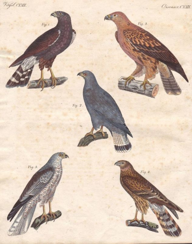 Vögel CXXIX - Bussard buteo buzzard Adler eagle Vogel bird Vögel birds Raubvogel predator Bertuch Kupferstich