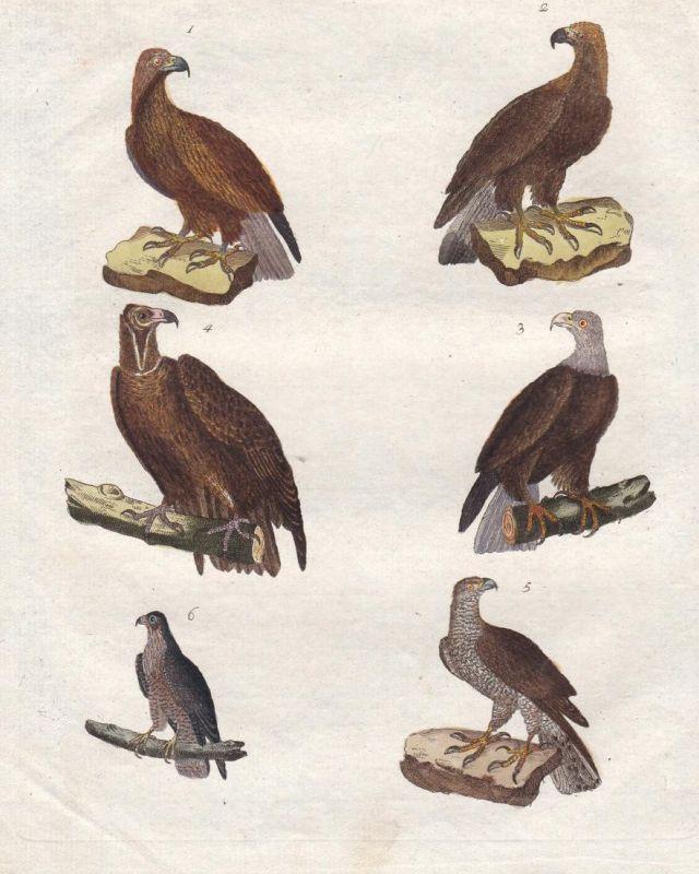 Vögel V - Adler eagle Falke hawk Geier vulture Habicht Vogel bird Vögel birds Bertuch Kupferstich copper engra