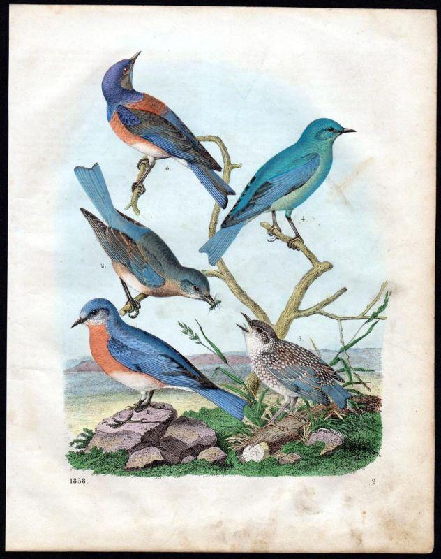 Singvogel Vogel Vögel bird birds Passeri Lithographie lithograph