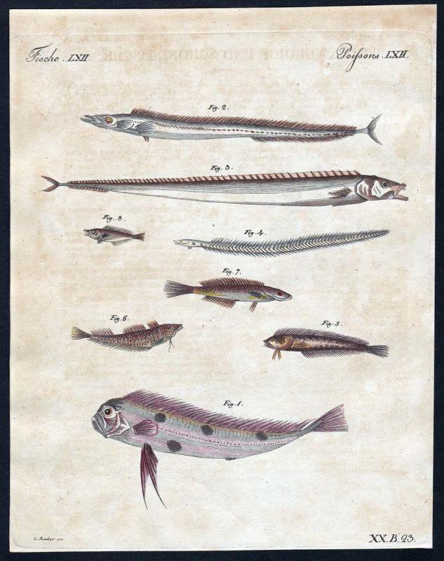 Fische LXII - Fisch fish Fische fishes Quappe burbot Kupferstich Bertuch antique print Gymnetrus Schuppenfloss