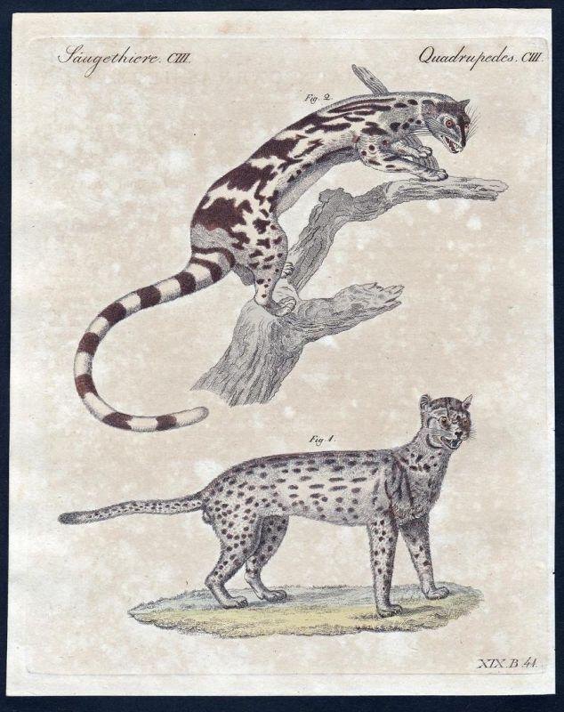 Säugethiere CIII - Katze cat Katzen cats Säugetier Kupferstich Bertuch antique print Javanische Katze