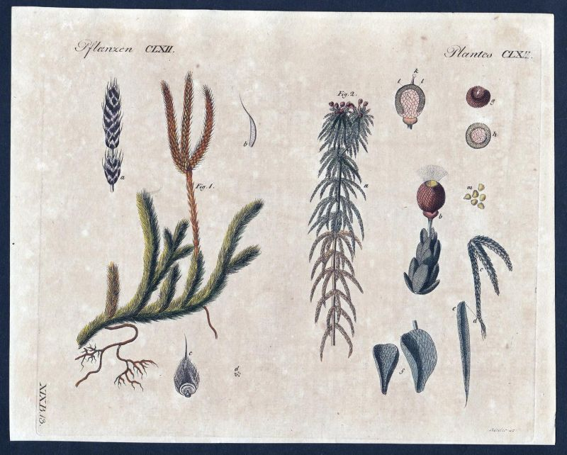 Pflanzen CLXII - Moos moss Pflanze Pflanzen plant plants Kupferstich Bertuch antique print Bärlapp Torfmoos
