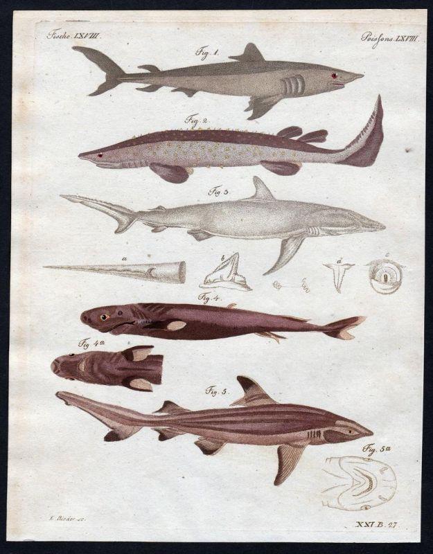 Fische LXVIII - Hai Fisch fish Fisches fishes common porpoise Meerschwein Kupferstich Bertuch antique print Ma