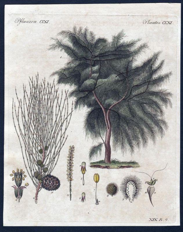 Pflanzen CLXII - Baum tree Äste branches Pflanze Pflanzen plant plants Kupferstich Bertuch antique print Casua