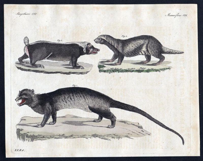 Säugethiere CVI - Stinktier skunk Stinktiere skunks Säugetier Kupferstich Bertuch antique print Musanga Grison