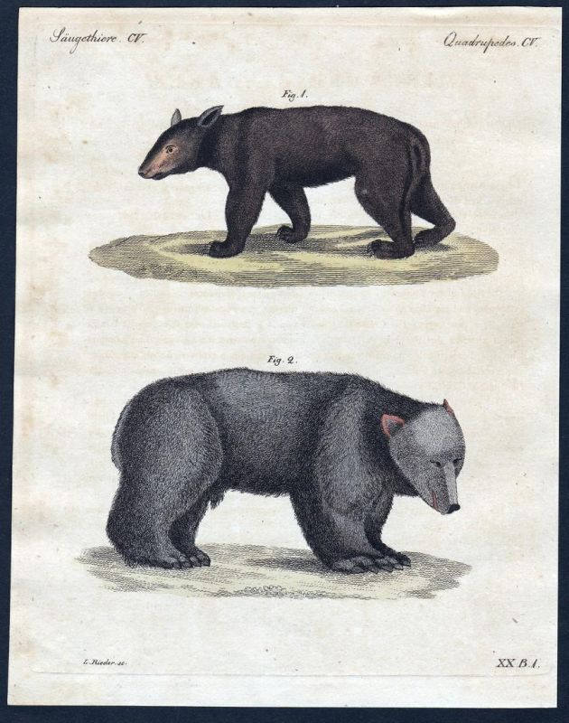 Säugethiere CV - Bär Bären bear bears Säugetiere Kupferstich Bertuch antique print Amerikanischer Bär Grauer B