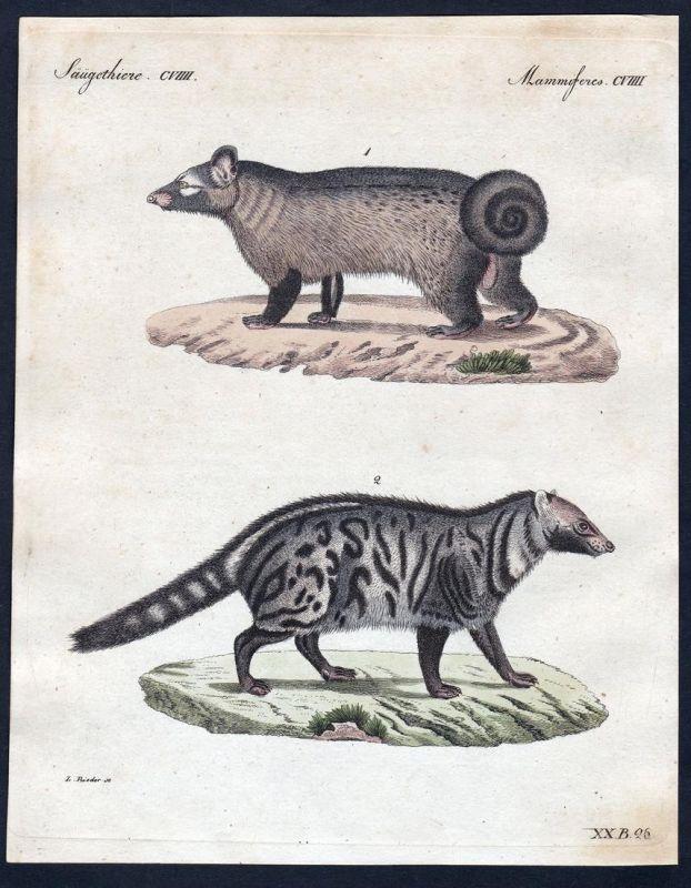 Säugethiere CVIIII - Stinktier skunk Säugetier Kupferstich Bertuch antique print Pougoune Civette