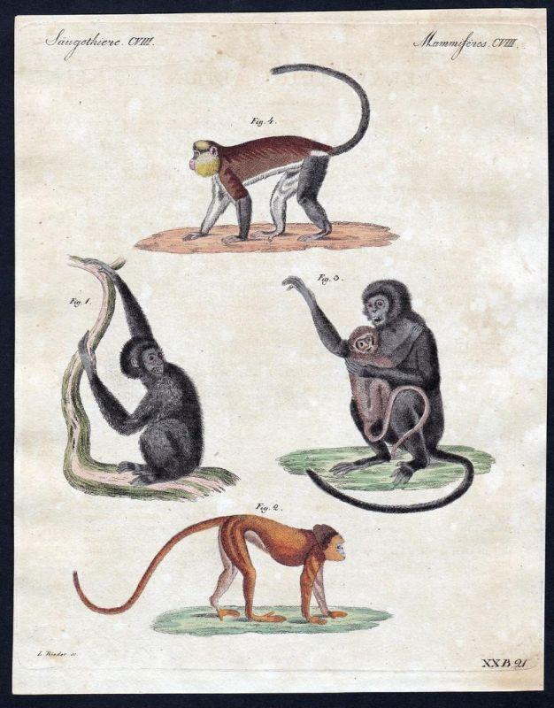 Säugethiere CVIII - Affen monkey monkeys Affe Säugetier Kupferstich Bertuch antique print Siamang Cimepeye Moh