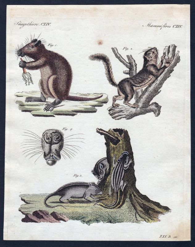 Säugethiere CXIV - Murmeltier marmot Ratte rat Ratten rats Säugetier Kupferstich Bertuch antique print Utia Ba