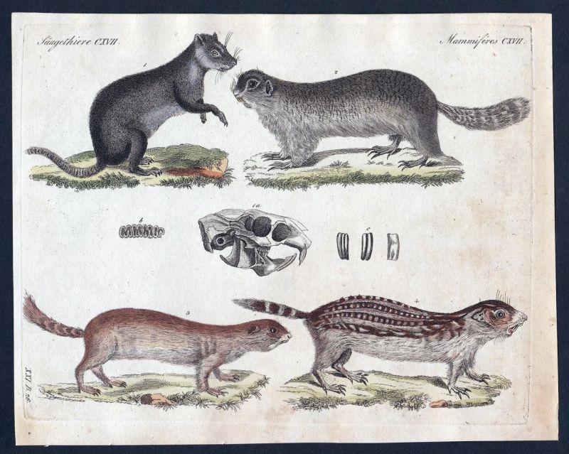 Säugethiere CXVII - Murmeltier marmot Säugetier Kupferstich Bertuch antique print Isodon Nordamerikanisches Mu