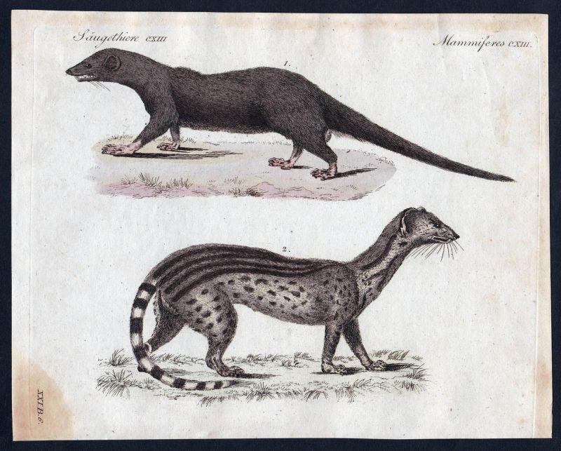 Säugethiere CXIII - Raubtier Mangusta mongoose Carnivora Kupferstich Bertuch antique print Javanischer Mangust