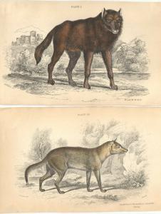 The Naturalist´s Library - 5 kolorierte Stahlstiche – Wolf u. Füchse– um 1840