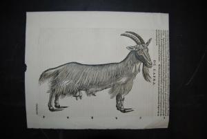 Altkolorierter Holzschnitt - De Capra - Ziege - ca. 1560