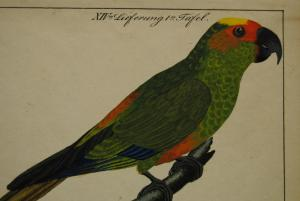 Feuerköpfiger Papagei – Altkolor. Lithographie – Um 1830