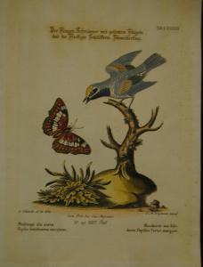 """Seligmann – """"Fliegen-Schnäpper"""" - Altkolorierter Kupferstich - 1750"""