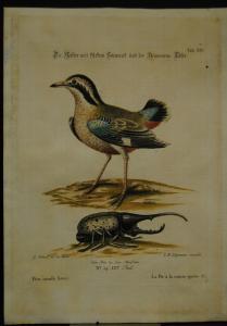 """Seligmann – """"Elster"""" - Altkolorierter Kupferstich - 1750"""