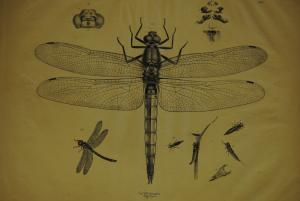 Libelle – Lithographie um 1850 – Riesenformat