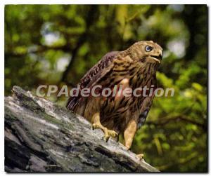 Moderne Karte Acciplter Gentilis Junger Habicht Jeune Autour Young Hawk