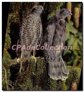 Moderne Karte Acciplter Nisus Sperber Eperviers Sparrowhawks Sperwers