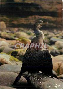 Moderne Karte Oiseaux de Bretagne La Bretagne en Couleurs Jeune Cormoran