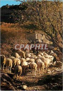 Moderne Karte Les Belles Images de Provence Moutons au Printemps Elevage