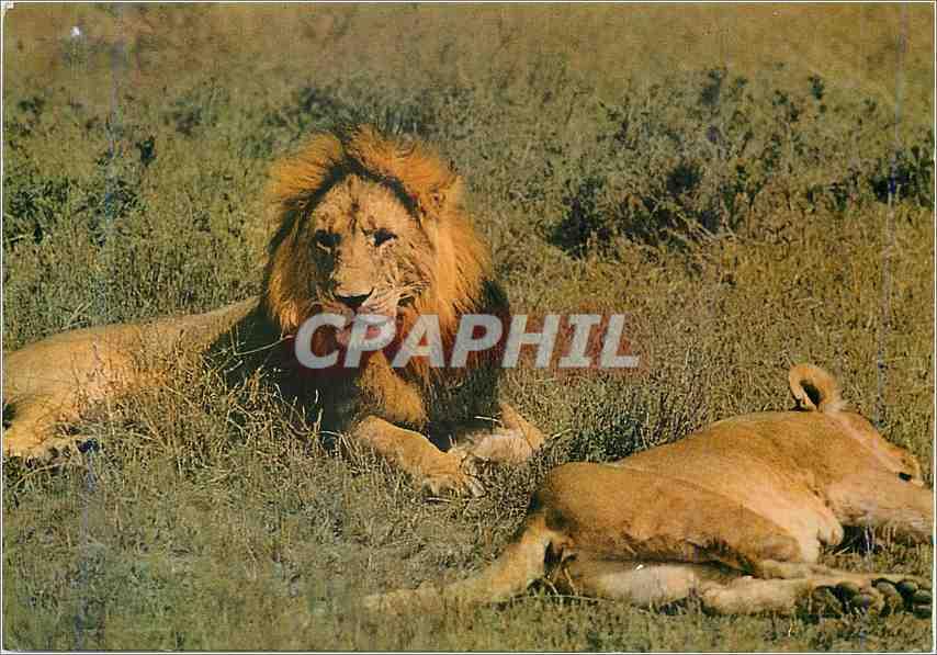Moderne Karte Lion (deux lions) 0