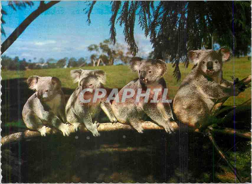 Moderne Karte Koalas Australia 0