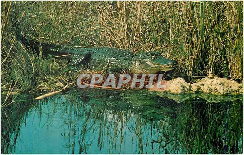 Moderne Karte Alligator Everglades National Park Florida Crocodile 0