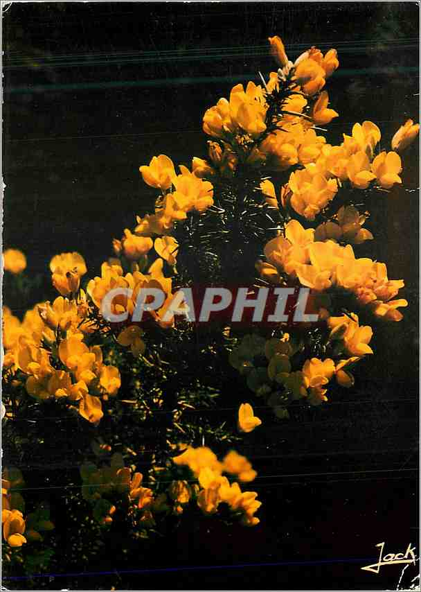 Moderne Karte Couleurs de Bretagne Fleur d ajonc 0