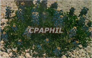 Ansichtskarte AK Bluebonnet the State Flower of Texas as Seen along Texas