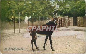 Ansichtskarte AK New York Zoological Park Sable Antelope