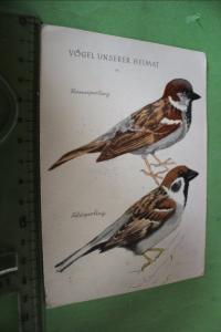 Tolle alte Karte Vögel unserer Heimat - Sperlinge - 1956