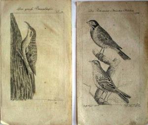 2 alte Kupferstiche: Vögel