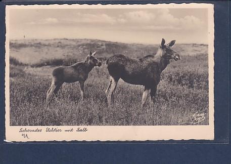 AK Sicherndes Elchtier mit Kalb 1939