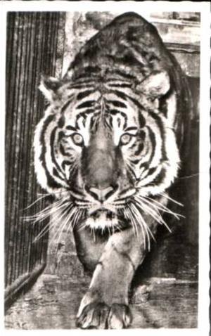 Köln v.1958 Zoo Köln-TIGER (17125)