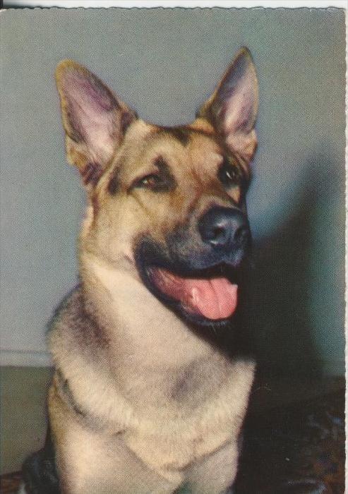 Schäferhund v. 1968     (41170)