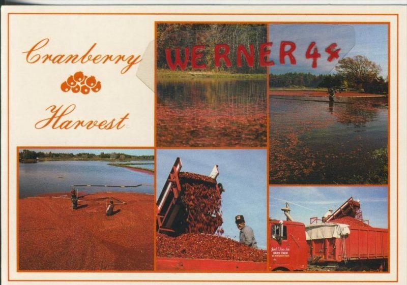 Cape Cod v. 1972  Cranberry Harvest  --  siehe Foto !!  (30546)