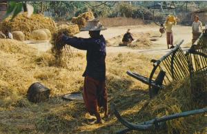 Thailand v. 1989  Bei der Reisernte  (53806)