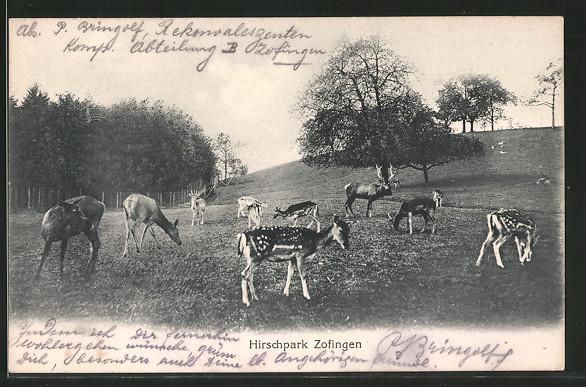AK Zofingen, Hirschpark mit Rehen und Hirsch
