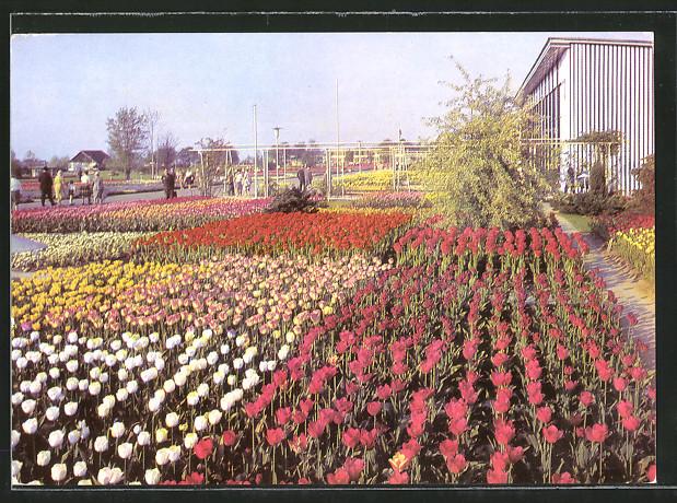 AK Erfurt, 10 Jahre Internationale Gartenbau-Ausstellung d. DDR iga 1961-1971, Tulpenblüte